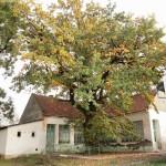 Öreg tölgyfa az iskola udvarán
